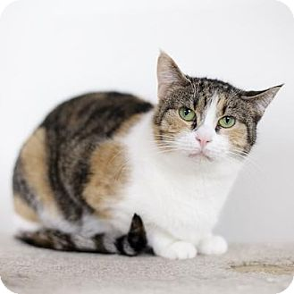 Domestic Shorthair Cat for adoption in Denver, Colorado - Kika