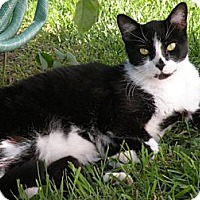 American Shorthair Cat for adoption in Rohrersville, Maryland - BoBo