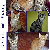 Adopt A Pet :: Fancy - Bunnell, FL