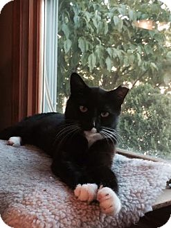 Domestic Shorthair Cat for adoption in North Haledon, New Jersey - Jeter