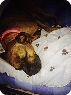 American Pit Bull Terrier Mix Dog for adoption in Silver Spring, Maryland - Tigresa