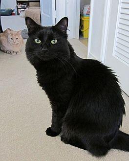 Maine Coon Cat for adoption in Santa Ana, California - Einstein