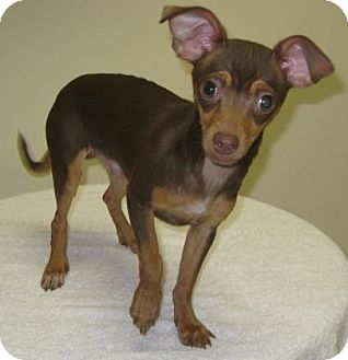 Chihuahua Mix Puppy for adoption in Gary, Indiana - Tostada