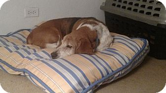 Basset Hound Dog for adoption in Littleton, Colorado - Bruno