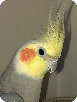 Cockatiel for adoption in Oceanside, California - Rudy