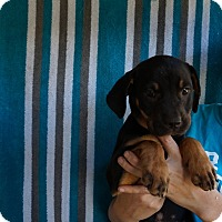 Adopt A Pet :: Ariel - Oviedo, FL