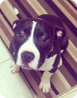 Terrier (Unknown Type, Medium)/American Staffordshire Terrier Mix Puppy for adoption in Troy, Michigan - Lola