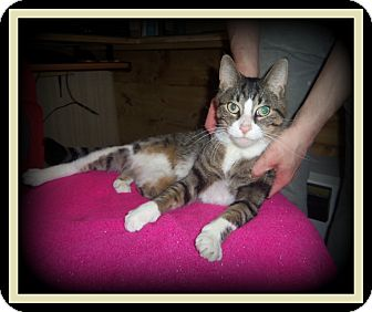 Domestic Shorthair Cat for adoption in Medford, Wisconsin - DEXTER