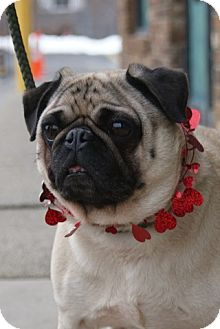 Pug Mix Dog for adoption in Rockaway, New Jersey - Spyke