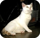 Domestic Shorthair Cat for adoption in Ottawa, Ontario - Anise