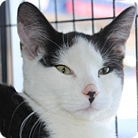 Adopt A Pet :: Syrah - Hamilton, ON