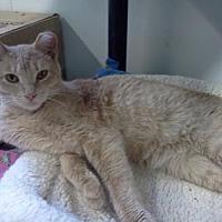Domestic Shorthair Cat for adoption in Hurricane, Utah - Boomer