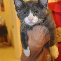 Domestic Shorthair Kitten for adoption in Pompano Beach, Florida - Cheer