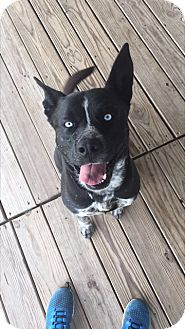 Husky/American Pit Bull Terrier Mix Dog for adoption in Brookings, South Dakota - Blue