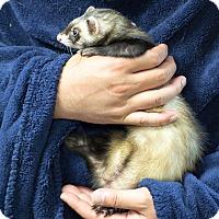 Adopt A Pet :: Kelli - Balch Springs, TX