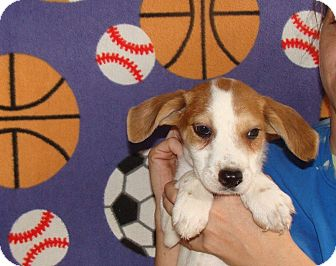 Australian Shepherd/Labrador Retriever Mix Puppy for adoption in Oviedo, Florida - Carter