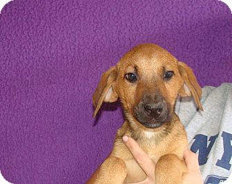 Labrador Retriever/Golden Retriever Mix Puppy for adoption in Oviedo, Florida - Wonton