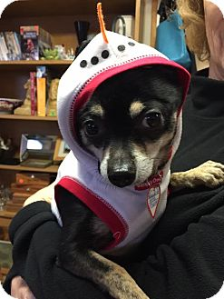 Chihuahua/Chihuahua Mix Dog for adoption in Grass Valley, California - Manny