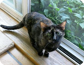 Domestic Shorthair Cat for adoption in Northbrook, Illinois - Thyme