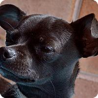 Adopt A Pet :: Dillinger - Bridgeton, MO