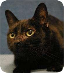 Domestic Shorthair Cat for adoption in Sacramento, California - Bastet