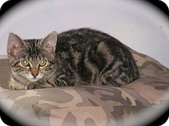 Domestic Shorthair Kitten for adoption in Oxford, Connecticut - Casey