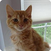 Adopt A Pet :: Cheddar - Colmar, PA