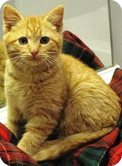 Domestic Shorthair Kitten for adoption in Dover, Tennessee - Niles
