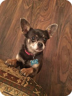 Chihuahua Mix Dog for adoption in Boerne, Texas - Blue