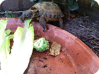 Tortoise for adoption in Spring Branch, Texas - Russian Tortoise
