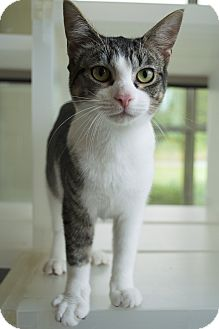 Domestic Shorthair Kitten for adoption in Prince George, Virginia - Sheldon