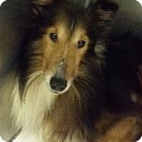 Sheltie, Shetland Sheepdog Dog for adoption in COLUMBUS, Ohio - Rick