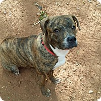 Mountain Cur Mix Dog for adoption in West Springfield, Massachusetts - Celine