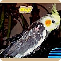 Adopt A Pet :: Moji - Tampa, FL