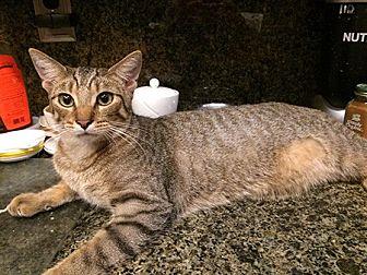 American Shorthair Kitten for adoption in Metairie, Louisiana - Landon
