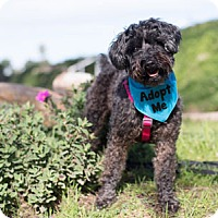 Adopt A Pet :: Bella Schnoodle - Pacific Grove, CA