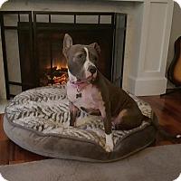 Adopt A Pet :: Sheena - Framingham, MA