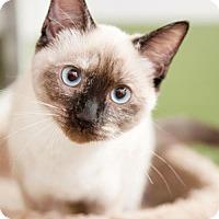 Adopt A Pet :: Cindi - Herndon, VA