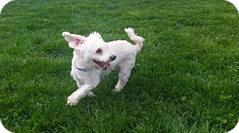 Poodle (Miniature) Dog for adoption in Columbus, Indiana - Paxton