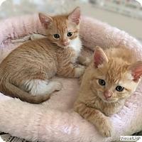 Adopt A Pet :: Lollipop/Orangesicle - Westchester, CA