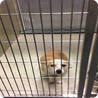 Adopt A Pet :: A1055131 - Bakersfield, CA