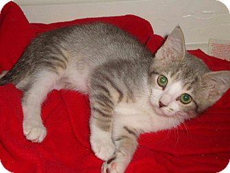 Domestic Shorthair Kitten for adoption in St. Louis, Missouri - Mittens