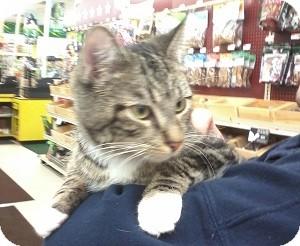 Domestic Shorthair Kitten for adoption in Fairborn, Ohio - Cirell-Diamond Litter