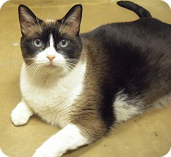 Snowshoe Cat for adoption in Wickenburg, Arizona - Ruby
