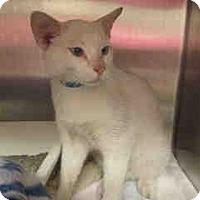Adopt A Pet :: Miles (Blue eyes!) - Arlington, VA