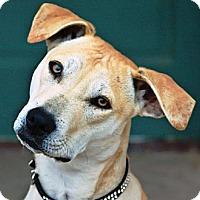 Adopt A Pet :: Orion - Gilbert, AZ