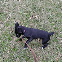Labrador Retriever Mix Dog for adoption in Goldsboro, North Carolina - Lady