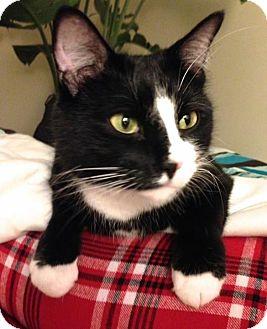 Domestic Shorthair Cat for adoption in Lambertville, New Jersey - Wilson