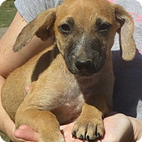 Dachshund/Shepherd (Unknown Type) Mix Puppy for adoption in Westport, Connecticut - Buster Brown