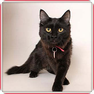 Domestic Mediumhair Cat for adoption in Glendale, Arizona - Cherish
